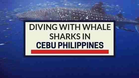 Diving with Whale Sharks in Cebu Philippines