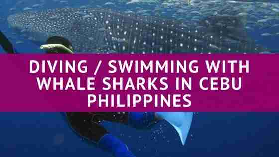 Diving / Swimming with Whale Sharks in Cebu Philippines