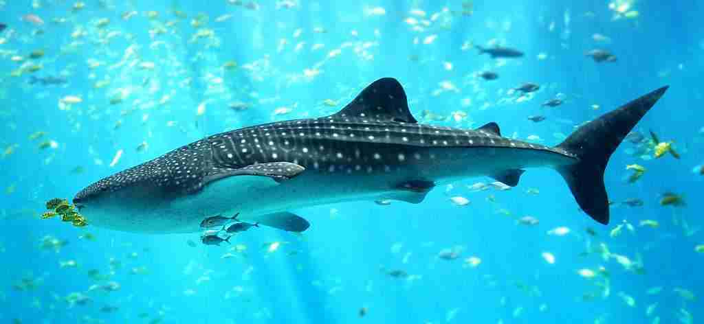 Whale Shark in Cebu