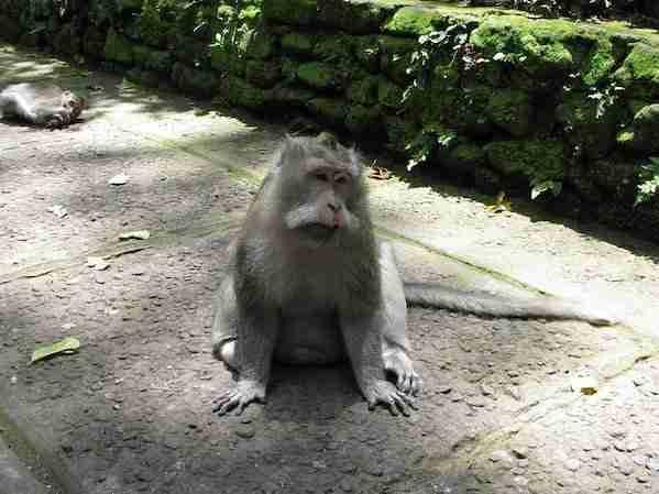 Monkey Facts Bali