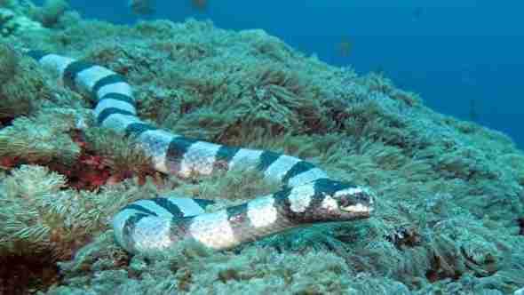 Sea Snake at Crystal Bay in Bali
